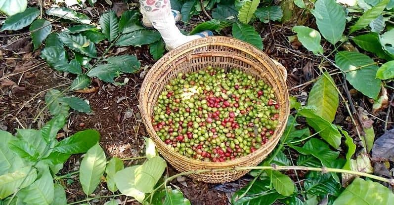 Indonesia coffee beans