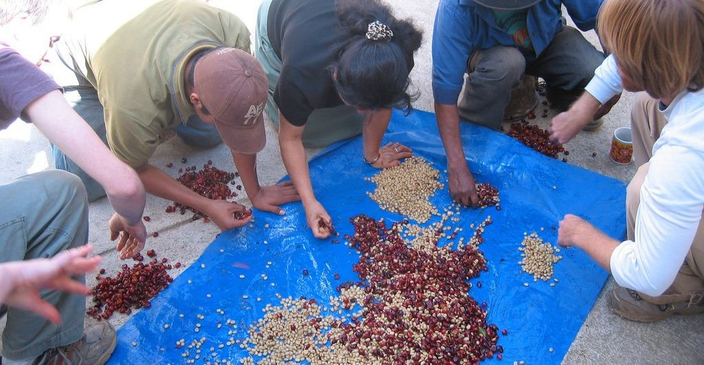 coffee bean Grading and sorting
