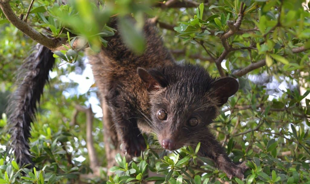 Asian Palm Civet cat